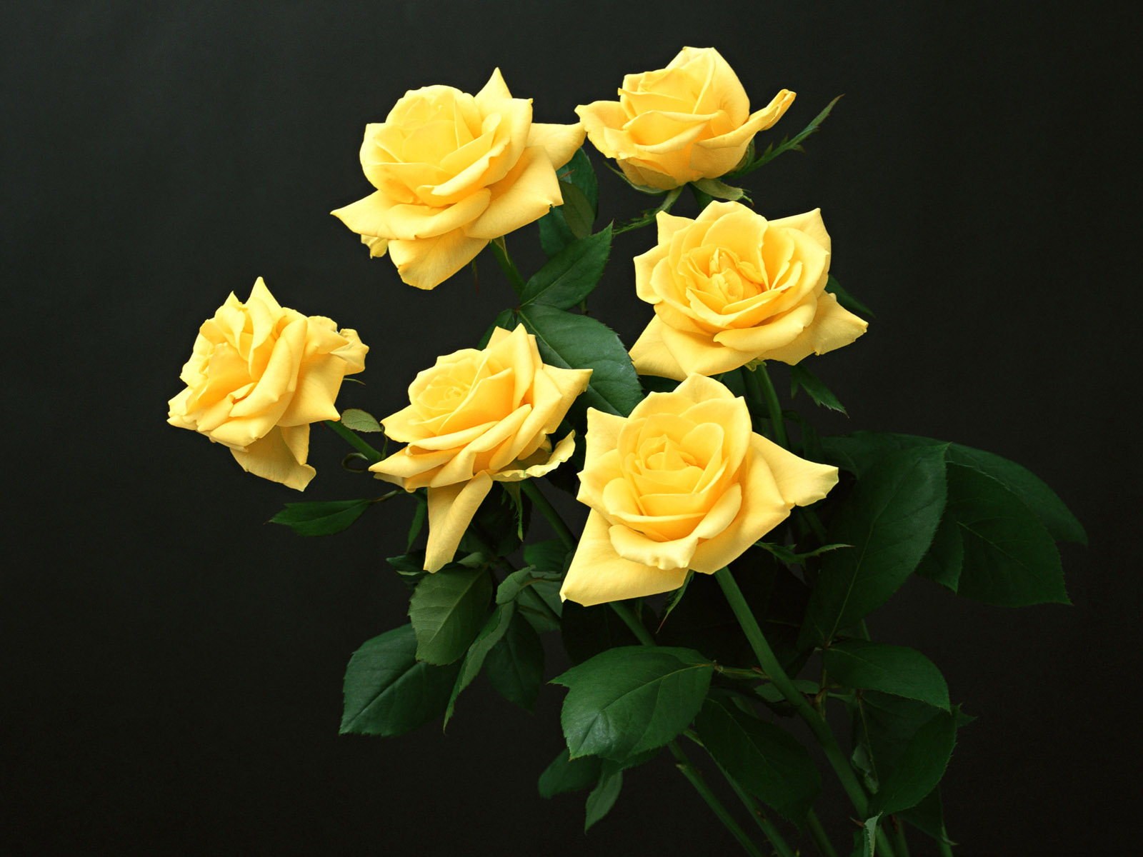 Yellow Rose Flowers Flower HD Wallpapers