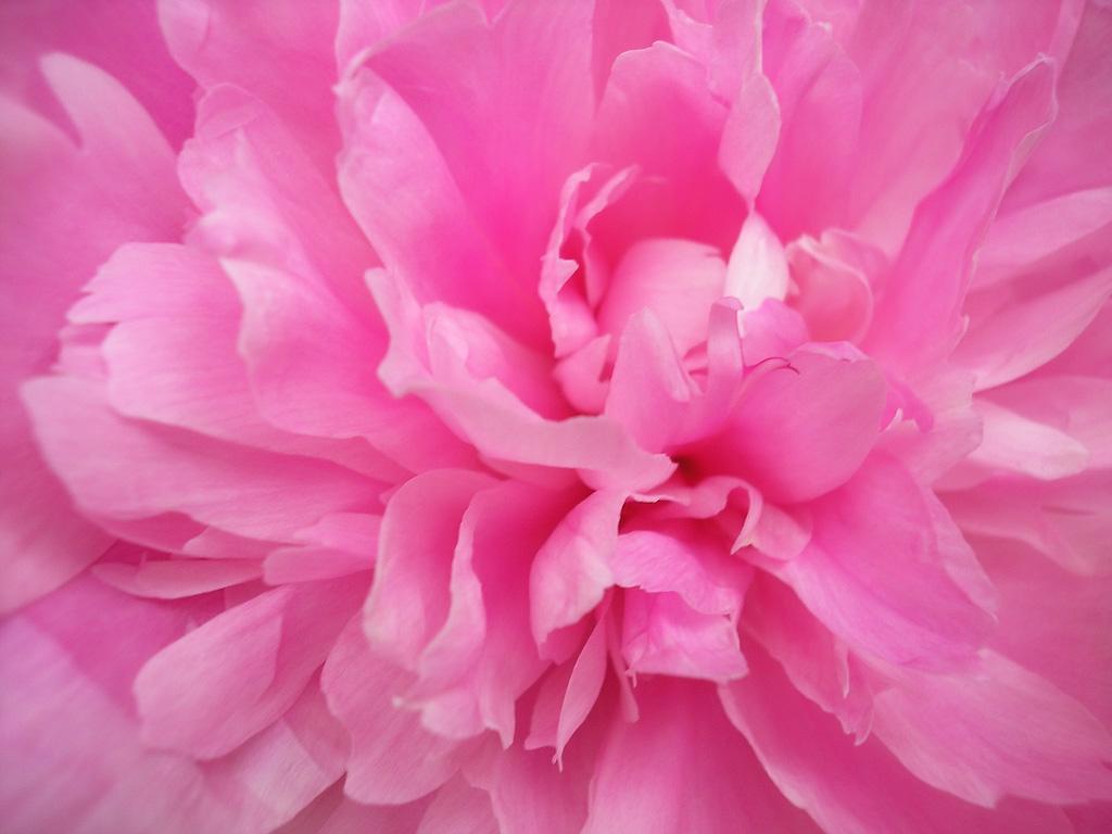 http://3.bp.blogspot.com/-KjBqJHD_UwE/T_PfjnLnkVI/AAAAAAAAAQY/5IonT__ts1A/s1600/Pink-Peony.jpg