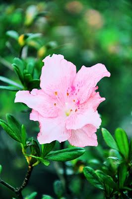 Imágenes gratis de flores, anturios, rosas, azalias, jaboneras, casas viejas y haciendas