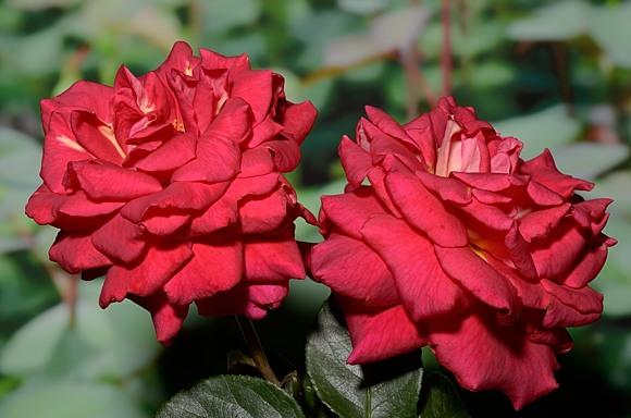Kleopatra rose сорт розы фото