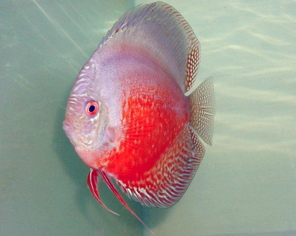 red white discus red snakeskin discus red spotted green discus