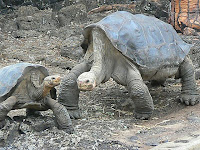 Lonesome George and a Petite Female Galapagos Tortoise