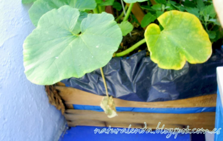 jardinera de madera con calabacines plantados