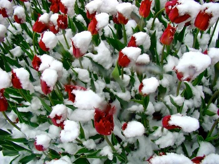hoa tulip đẹp nhất cho máy tính