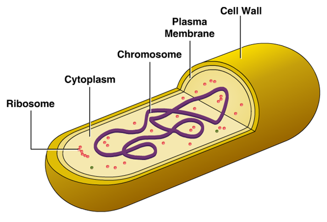 The outer most structure of bacteria is the cell wall a semirigid
