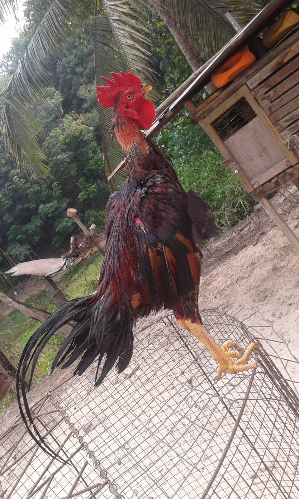 ayam sabung sabah