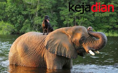 Persahabatan Unik Gajah Dengan Anjing