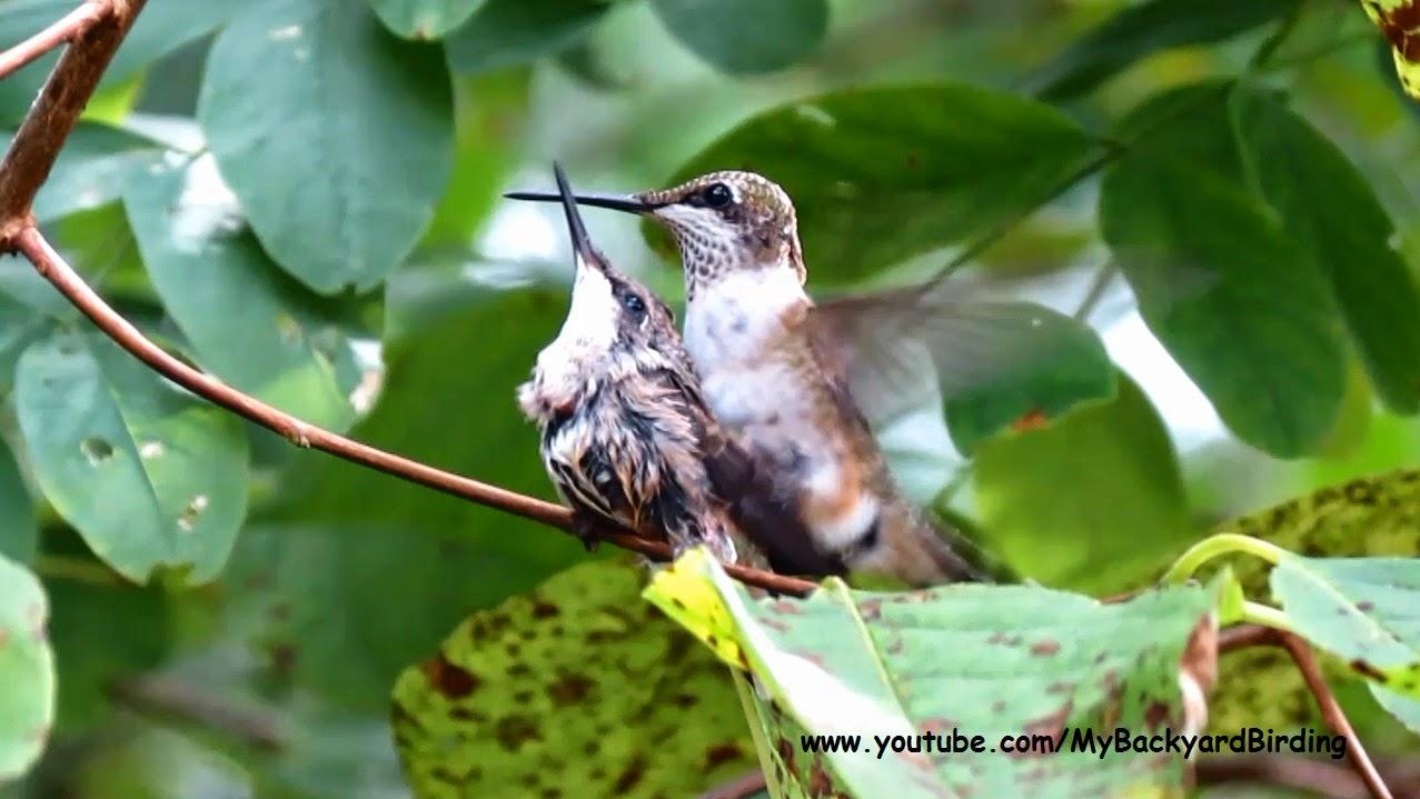 backyard birding and nature baby hummingbird rescue an