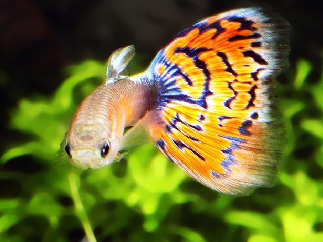 Guppy Fish, Fancy Guppy