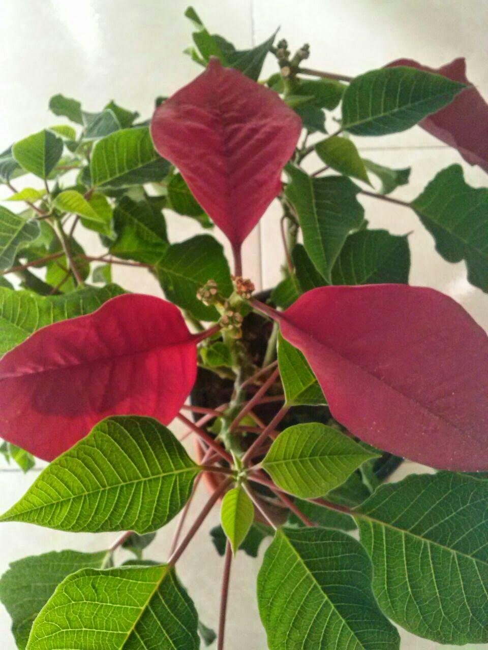 Flor de pascua (Euphorbia pulcherrima)