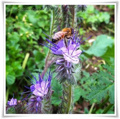 Biene beim Honig sammeln