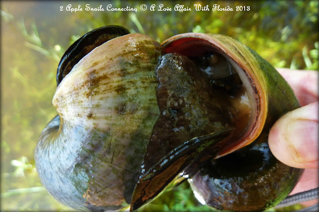 Apple Snails live in the pond. Here are two of them having a very up ...
