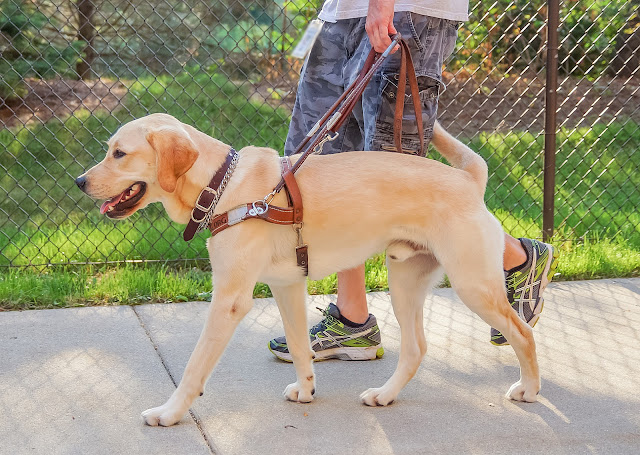 A side shot of a yellow lab/golden mix dog walking toward the left wearing a Leader Dog guide harness, with a handler holding it with his or her left hand. The handler is only visible from the waist down. The pair are walking on a sidewalk with a chain link fence and grass in the background.
