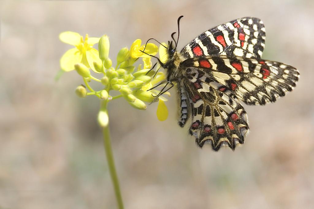 Para ampliar Zerynthia rumina (Linnaeus, 1758) Mariposa arlequín hacer clic