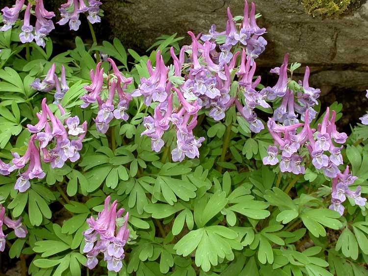 Obat Herbal Corydalis Tekan Penyakit Kronis