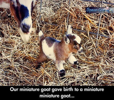 funny cute goat picture