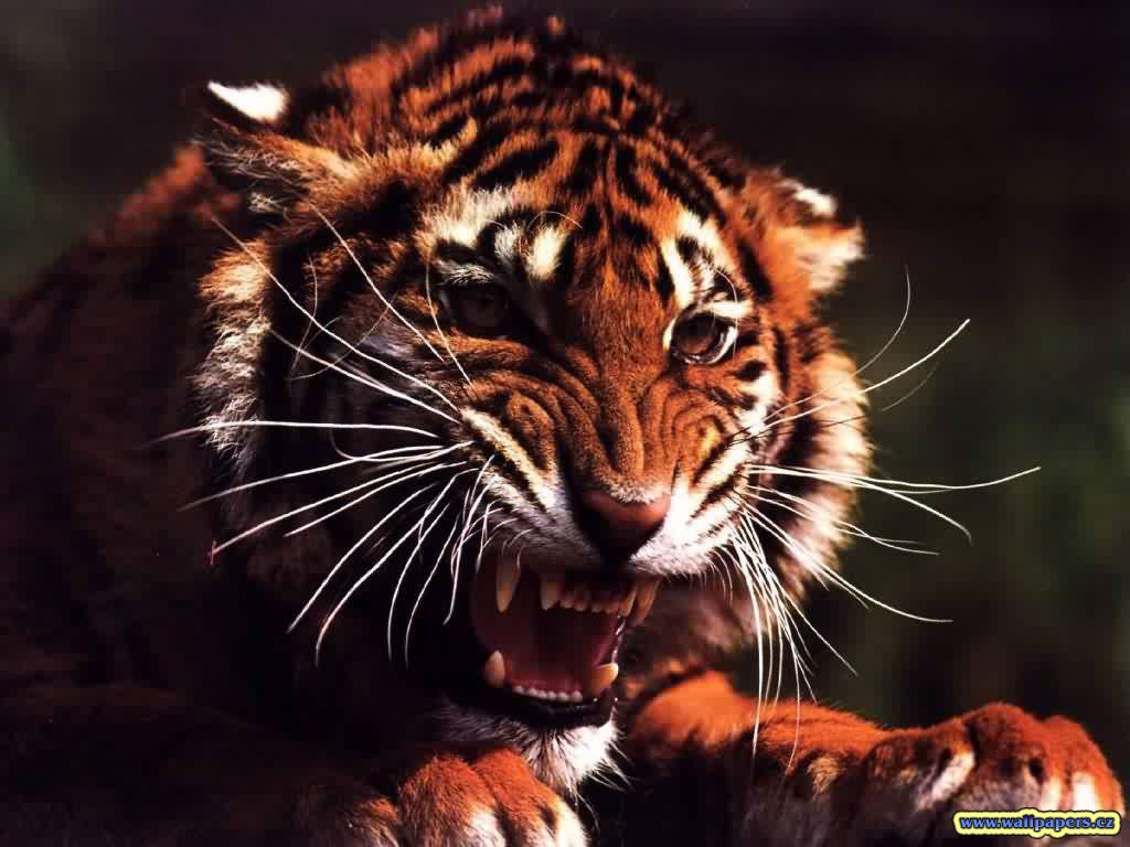 angry tiger photos - photo #19