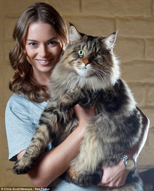 Conheça Rupert, o gato australiano gigante