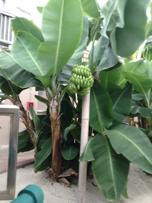 Banana trees at Living with the Land