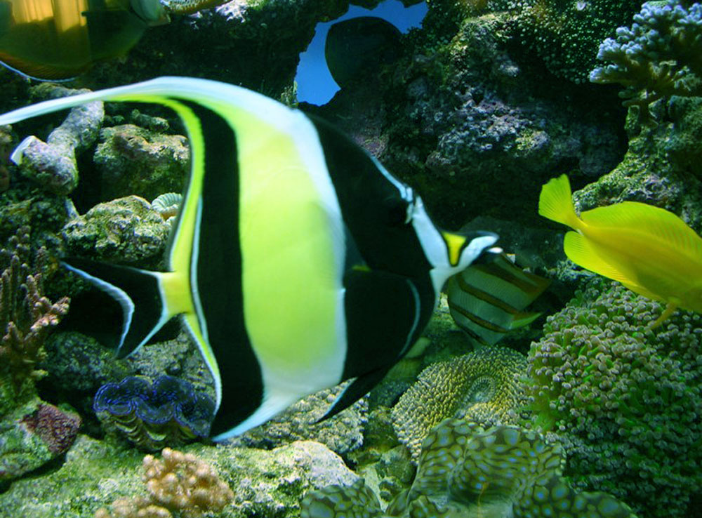 Life Under The Blue Water Moorish Idol The Most