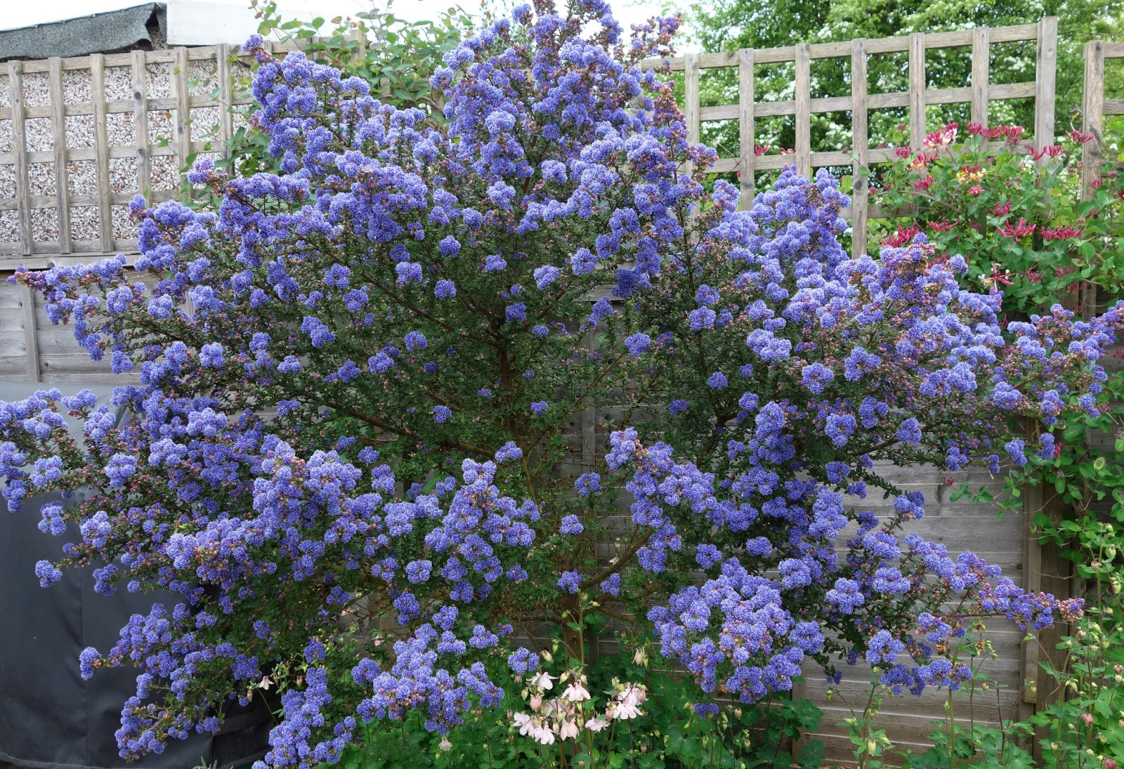 Urban pollinators brilliant blue ceanothus blooms for bees brilliant blue ceanothus blooms for bees izmirmasajfo