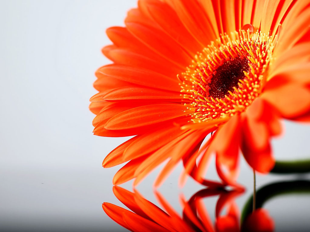 Tag: Orange Gerbera DaisyFlowers Wallpapers, Backgrounds, Photos ...