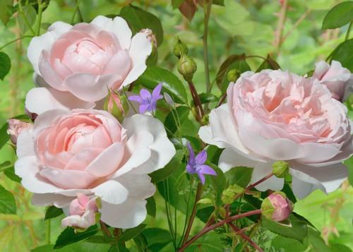 Wildeve rose сорт розы фото купить кусты
