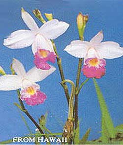 Bamboo Orchid Plant2