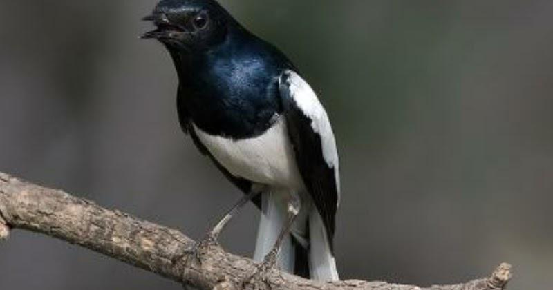 burung kicauan tips cara merawat burung kacer yang sedang