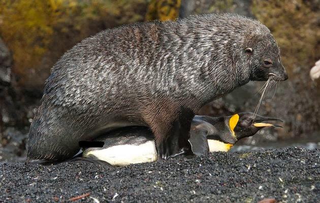 """Akibat Pemananasan Global, Anjing Laut """"Rogol"""" Penguin"""