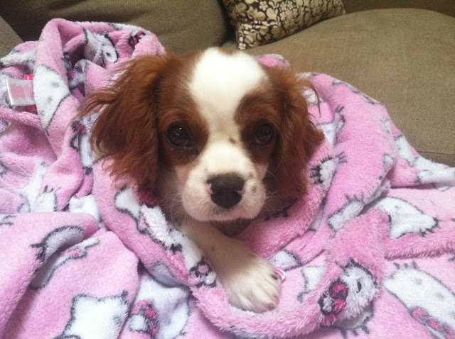 Baxter the Blenheim Cavalier King Charles Spaniel Puppy