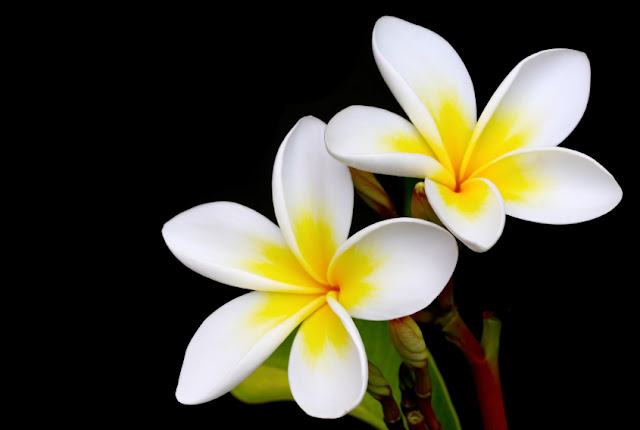 In Sri Lanka It Is Referred To As Araliya And English The Temple Tree Cantonese Known Gaai Daan Fa Or Egg Yolk Flower