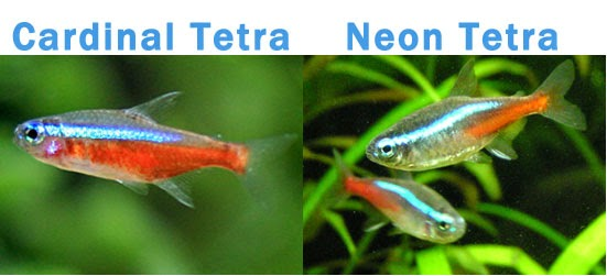 The Cardinal tetra is a very popular aquarium fish, but often confused ...