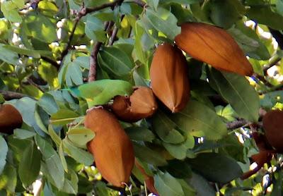 O periquito se mesclava com as cores verdes das folhas da Monguba