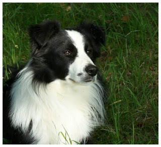 border collie pictures photos
