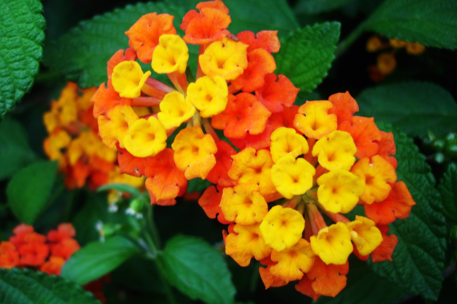 the girl and her camera lantana aromatic flower clusters