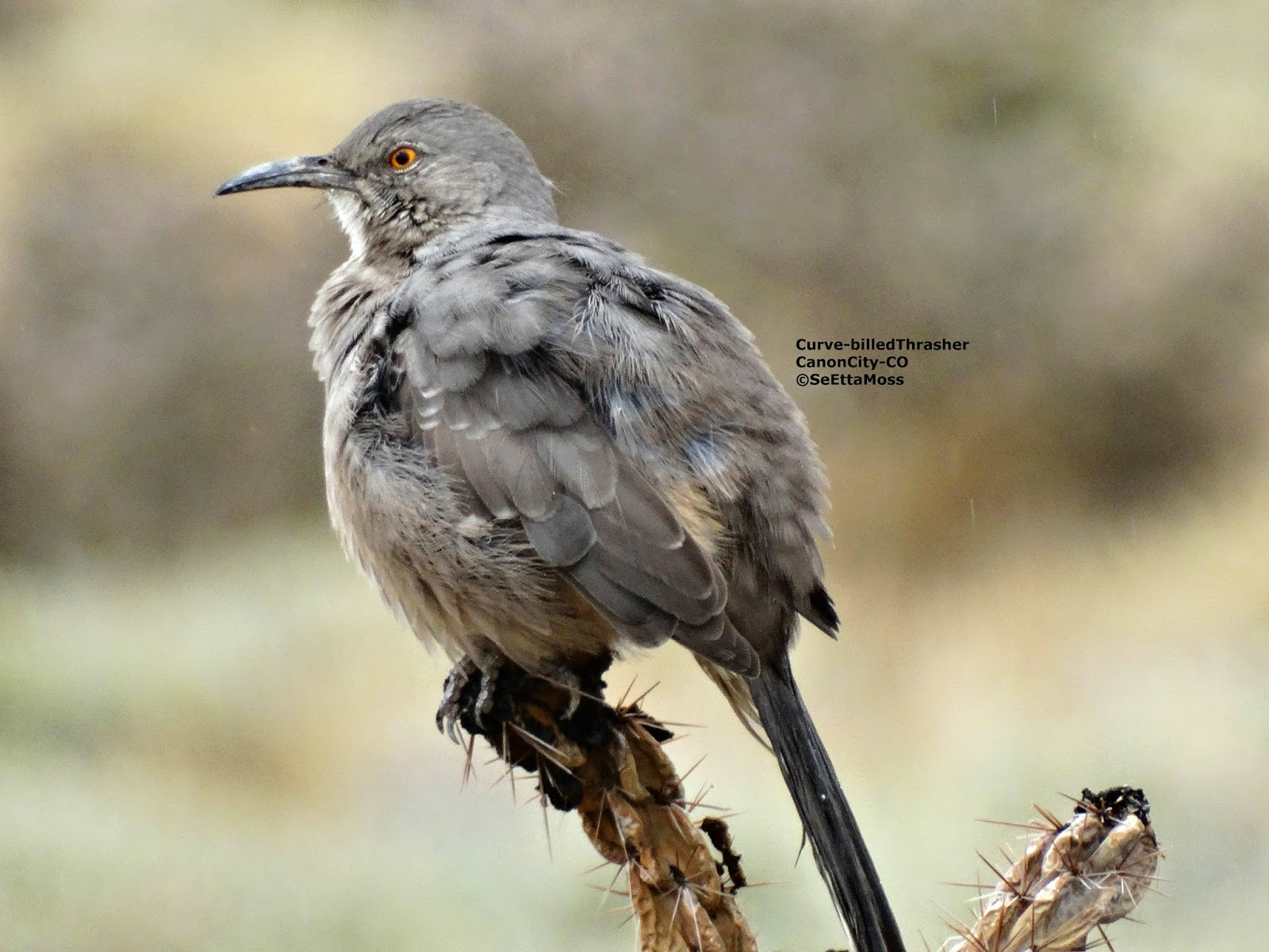 Curved Bill Thrasher Bird The Curved Billed Thrashers