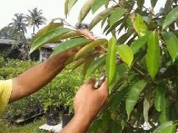 sambung pucuk durian