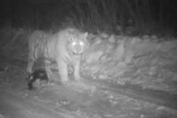 Harimau Vladimir Putin Tertangkap Kamera Melahap Anjing Peliharaan