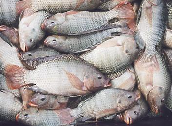 Entrega do peixe ser realizada na semana santa ielmo for Criar mojarras en casa