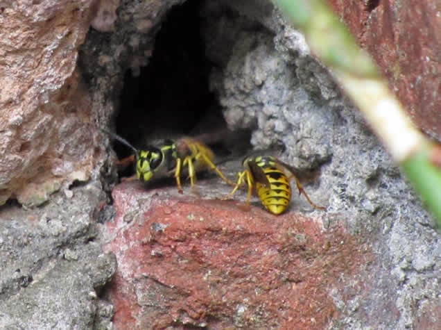 wasp control in walls