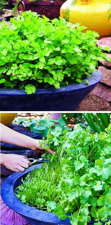 Чтобы был богатым урожай Continuous+cilantro+growing+method