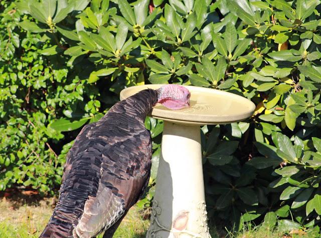 turkey drinking from bird bath