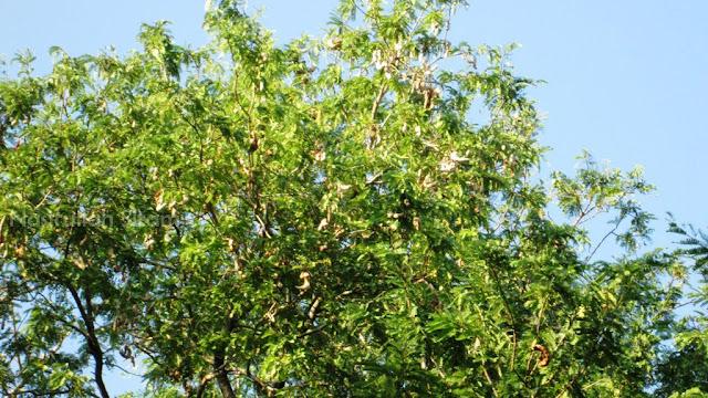 Rindangnya dedaunan pohon Asam