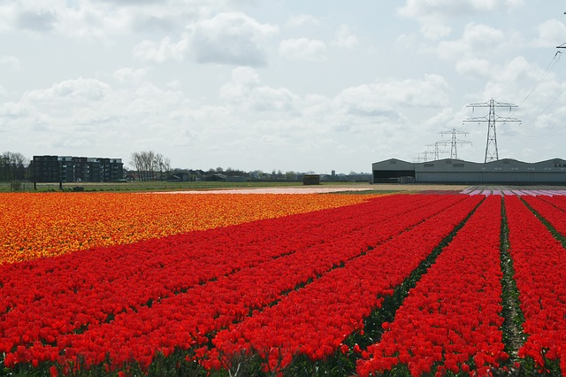 bollenstreek flower fields