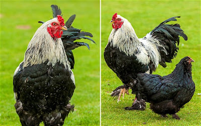 Setinggi 66 CM inilah Ayam Terbesar di Dunia Saat ini