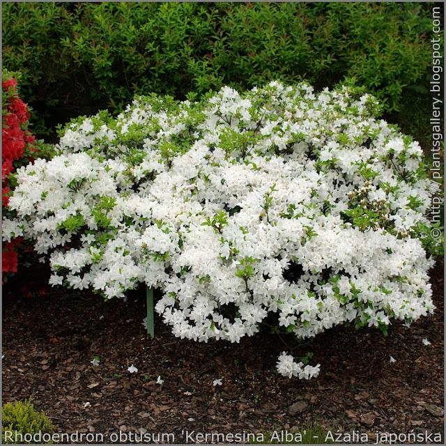 Rhododendron obtusum 'Kermesina Alba' habit - Azalia japońska  'Kermesina Alba' pokrój