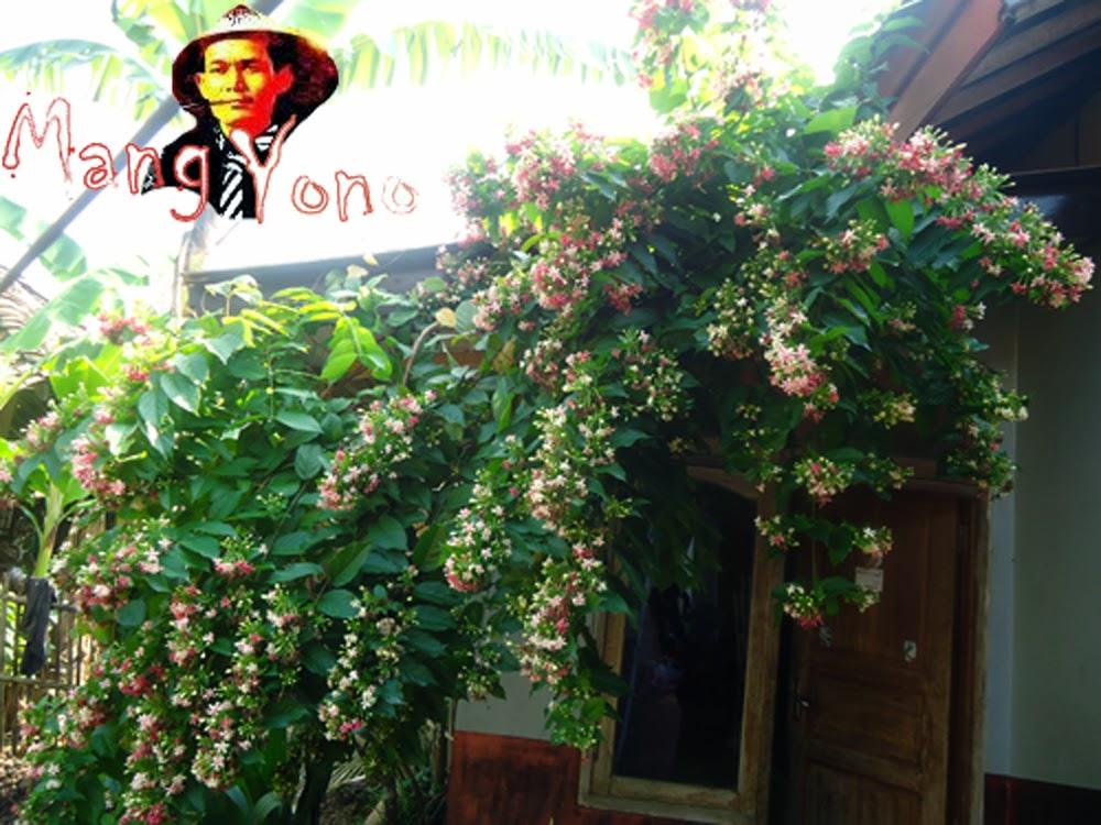 Bunga Melati Belanda / Quisqualis indica/ Chinese Honeysuckle yang menawan hati