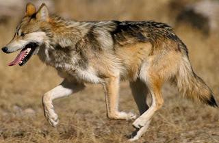 Lobo corriendo con la lengua afuera