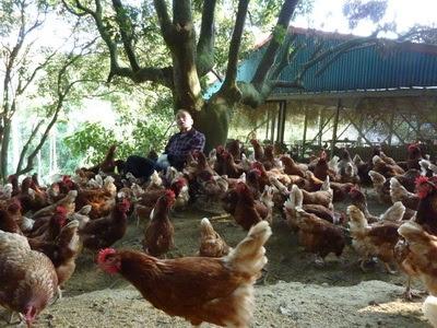 自然放牧的雞看起來元氣十足,自然環境健康生活也會產出較好的雞蛋 (圖/動物社會研究會提供)